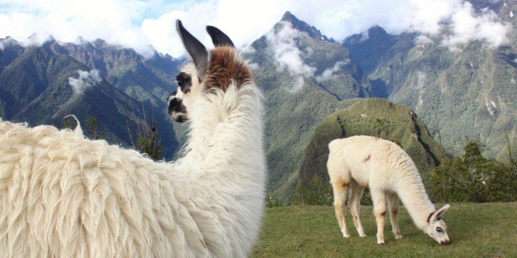 peru sacred valley hike inca trail llamas